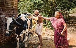 Indian farmers caring for a dairy cow.